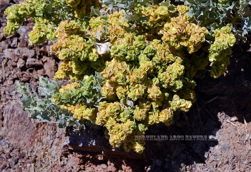 AZ-TS-Atriplex hymenelytra 2020.3.5#7519.3. A closeup of the strange Desert Holly bracteoles. Off of Route 95 a little north of Yuma Arizona.