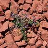 AZ-TS-Dalea Formosa 2019.4.19#394, the Featherplume. Red Rock Country, east of Sedona Arizona.