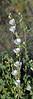 AZ-F-Sphaeralcea species 2019.3.20#045, the Desert Globe mallow in a pure white form. RT10 Sonoran Desert Arizona.