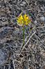 AZ-F-Triteleia lemmoniae 2019.6.5#338.2. The Lemmon's Star, a rare plant. North of Strawberry Arizona.