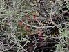 AZ-CTS-Cylindropuntia leptocaulis 2016.4.26#037, the Desert Christmas Cholla. Red Rock Creek State Park Arizona.