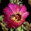 AZ-CTS-Cylindropuntia spinosior 2018.5.15#956. A Cane Cholla blossom with a Halictus bee species pollinating. Madera Canyon, Santa Rita Mountains Arizona.