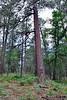 AZ-TS-Pinus ponderosa 2020.7.12#3834.3. Ponderosa Pine. Mongollon Rim, Arizona.