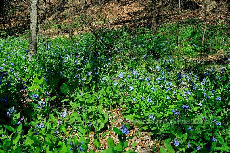 PA-F-Mertensia virginica 2008.4.17#274.2. Virginia Blue Bell. Bowman's Hill, Bucks County Pennsylvania.
