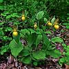 PA-F-Cypripedium calceolus var. pubescens 2010.5.6#027.4. Large Yellow Lady's Slipper. Bowman's Hill, Bucks County Pennsylvania.