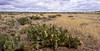 AZ-CTS-Opuntia Engelmannii 2016.4.28.#491.4. Engelmann's Prickly Pear cactus. Route 17 near Sunset Point Arizona.