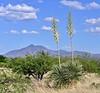 AZ-CTS-Yucca elata 2019.6.4#211.2. Soaptree Yucca's near Hereford Arizona, backdropped by Jose Mountain in Mexico.