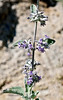 NV-TS-Hyptis emoryi 2020.4.21#8060.4. Desert Lavender. Near Christmas Tree Pass in the Newberry Mountains Nevada.