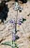 NV-TS-Hyptis emoryi 2020.4.21#8060.4. Desert Lavender. Near Christmas Tree Pass in the Newberry Mountains Nevada.