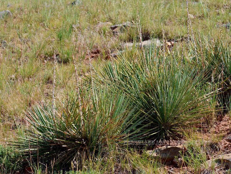 WY-AOY-Yucca glauca 2018.7.6#4832, the Narrowleaf Yucca. Powder River Wyoming.