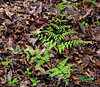 PA-Fern-Need to identify 2012.5.3#083.2 Bowman's Hill, Bucks County Pennsylvania.