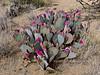 AZ-CTS-Opuntia basilaris 2018.4.19#020. The Beavertail Prickly Pear Cactus. RT 89 near Wilhoit Arizona.