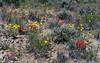 WY-F-Castilleja angustifolia and Etriophyllum lanatum 2019.6.19#1059, the Desert Indian Paintbrush and Oregon Sunshine. Desert prairie north of Rock Springs Wyoming.