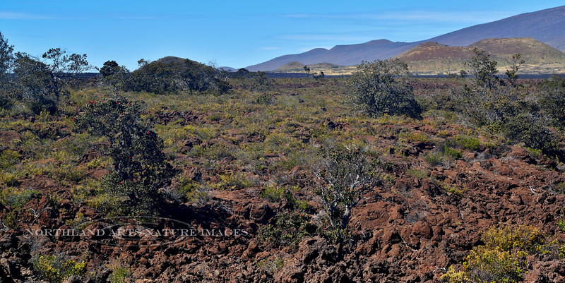 HI-TS-Ohi'a 2015.2.2#120. Vaccinum and unknown yellow flowered plant colonizing an ancient lava flow from Mauna loa, Hawaii.