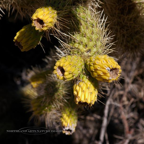 AZ-CTS-Cylindropuntia Bigelovii 2007.3.4#0004. A Teddy Bear Cholla with fruits. Apache Trail, Arizona.