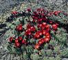 AZ-CTS-Echinocereus coccineus 2021.5.1#6928.4. Scarlet Hedgehog. Granite Dells, Yavapai County Arizona.
