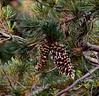 AZ-TS-Pinus strobiformis 2019.11.6#835.4x. The distinctive cones of the Southwestern White Pine. Mount Lemmon Arizona.