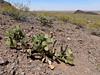 AZ-CTS-Opuntia phaeacantha 2018.4.6#063. The Brown-spine Prickly Pear cactus. Picacho Peak Arizona.