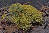AZ-TS-Gutierrezea sarothrae 2019.8.27#214.3. The Snakeweed. on the slopes of Sunset Crater Vlocano Arizona.