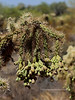 AZ-CTS-Cylindropuntia fulgida 2018.6.19#355. The Chainfruit Cholla. Gila County Arizona.