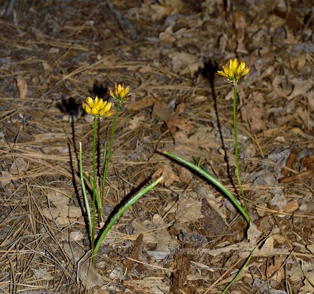 AZ-F-Triteleia lemmoniae 2019.6.5#325.2. The Lemmon's Star, a rare plant. North of Strawberry Arizona.
