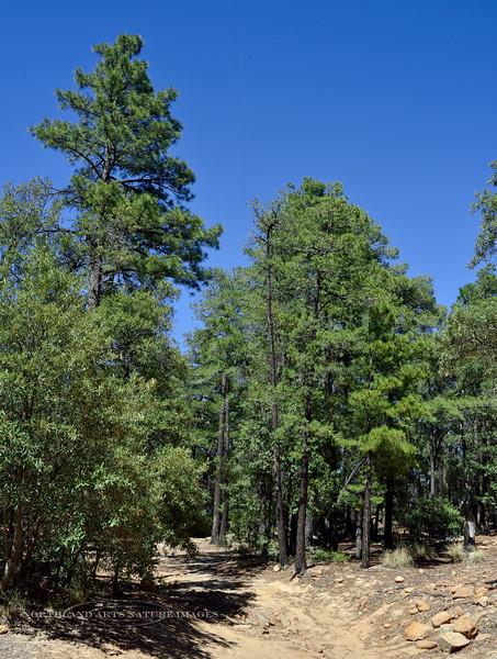 AZ-TS-Pinus arizonica 2929,6,9#3458.3. Arizona Pine. 7500' on Mount Graham Arizona.