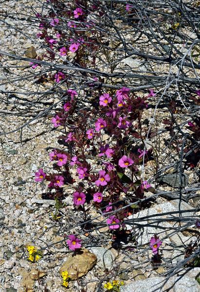 NV-F-Mimulus bigelovii 2020.4.21#8123.3. Bigelow's Monkeyflower. Near Christmas Tree Pass in the Newberry Mountains of Nevada.