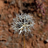 AZ-F-Uropappus lindleyi 2019.4.17#061, the Silverpuff. Red Rock State Park, Arizona.