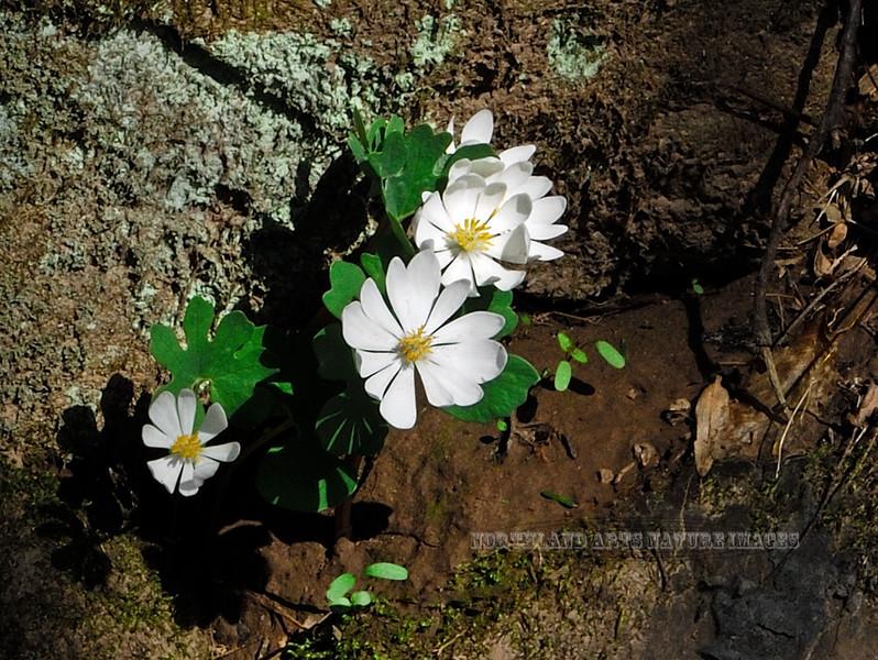PA-F-Sanguinaria Canadensis 2008.4.18#099, the Bloodroot. Bowman's Hill, Bucks County Pennsylvania.