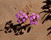 AZ-F-Abronia villosa 2020.3.5#7531.2. Desert Sand Verbena in the Fortuna Sand Dunes Arizona.