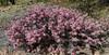 AZ-TS-Calliandra eriophylla 2018.4.6#154, the Fairy Duster. Madera Canyon Arizona.