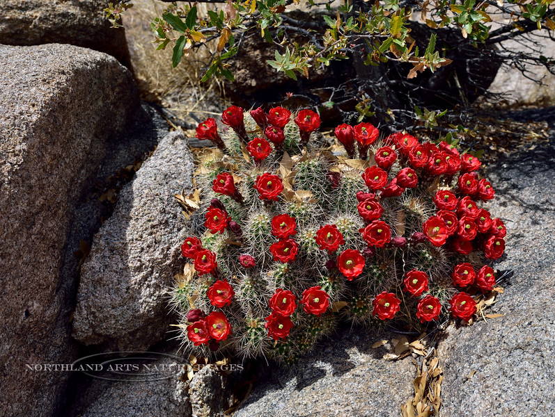 AZ-CTS-Echinocereus coccineus 2018.4.15#016. The Claret Cup or Scarlet Hedgehog cactus. Near Watson Lake in the Prescott Dells, Arizona.