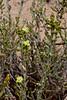 AZ-CTS-Cylindropuntia leptocaulis 2018.5.1#440. The Desert Christmas Cholla. Saguro West Nat. Park Arizona.