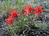 AZ-Castilleja integra, the Wholeleaf Indian Paintbrush. Prescott Valley, Arizona. #424.038. 3x4 ratio format.