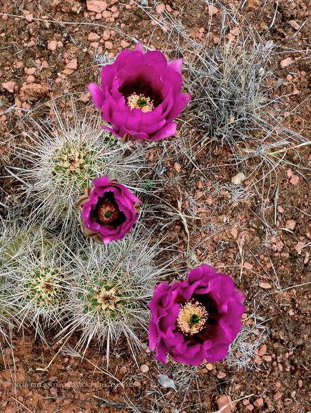 AZ-CTS-Echinocereus fendleri 2016.4.25#212. The Fendler's Hedgehog cactus. Red Rock State Park, Arizona.