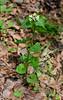 PA-F-Alliaria petiollata 2016.5.12#084.2. Garlic Mustard. Pike County, Pennsylvania.