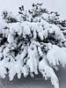 AZ-TS-Pinus nigra 2021.1.26#0337.1x. Austrian Black Pine. Prescott Valley Arizona.