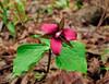 NY-F-Trillium erectum 2012.5.1#104 the Red Trillium. Beaver  Meadow State Forest, Chenango County, New York.