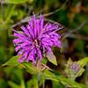 MT-F-Monarda fistulosa 2018.7.3#3877. Wild Bergamot, a Mint species. Nat. Bison Range Montana.