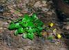 PA-F-Ranunculus vicaria 2008.4.18#098.2. Celandine. Bowman's Hill, Bucks County Pennsylvania.