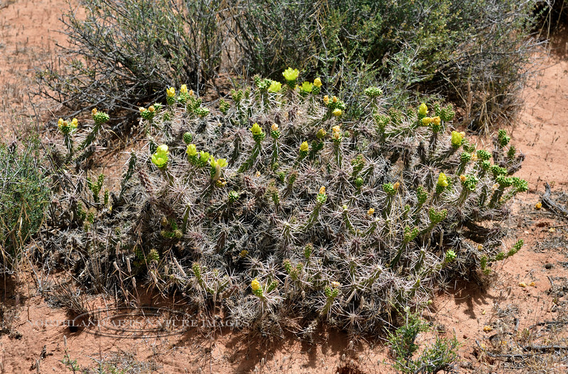 AZ-CTS-Cylindropuntia whipplei 2019.6.17#057. A low growth form of Whipple Cholla. Route 89, 25 miles south of Page Arizona.
