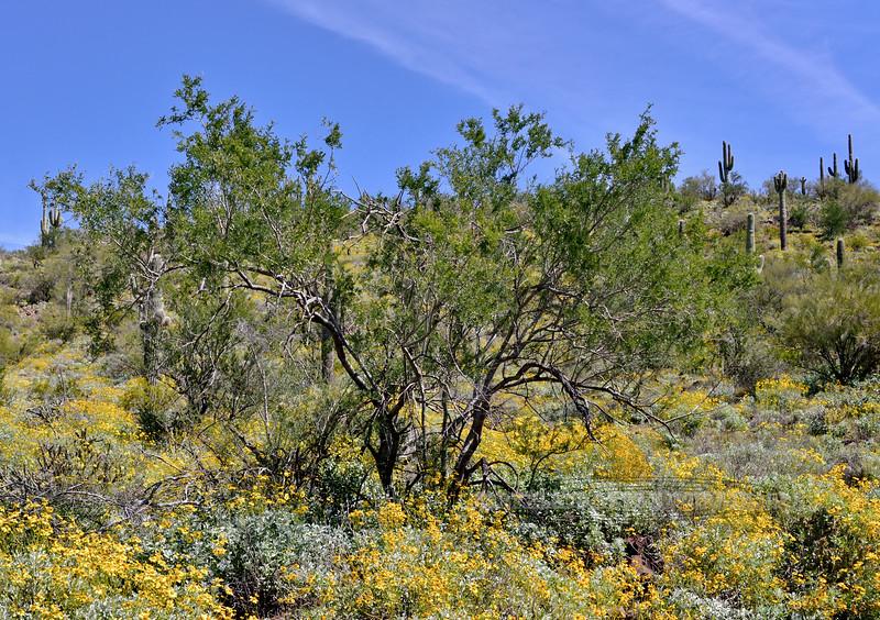 AZ-TS-Olneya tesota 2020.3.20#5170.3. The Desert Ironwood Tree. Near Lake Pleasant Arizona.