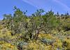 AZ-TS-Olneya testota 2020.3.20#5170.3. The Desert Ironwood Tree. Near Lake Pleasant Arizona.
