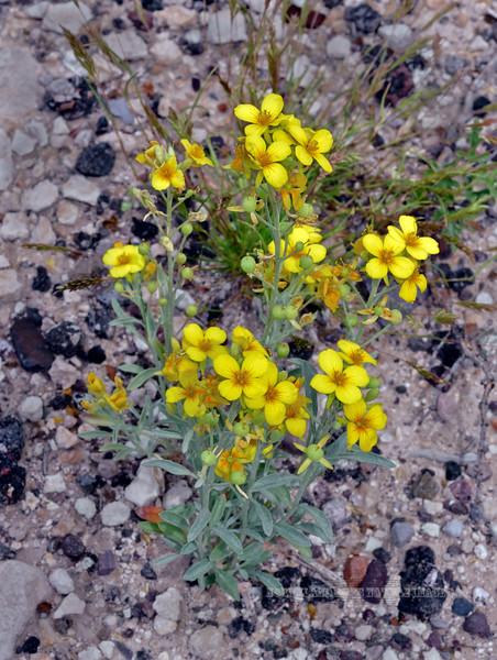 AZ-F-Physaria gordonii 2019.4.23#049.5. The Gordon's Bladderpod. Old West Highway, near San Carlos Arizona.