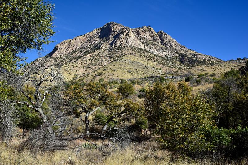 AZ-TS-Quercus arizonica 2018.3.21#029.2. Arizona Oaks in the Coronado Monument portion of the Huachuaca Mountains Arizona.
