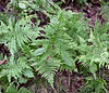 PA-Fern- Need to identify 2020.9.15#0959. Bowman's Hill, Bucks County Pennsylvania.