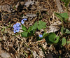 PA-F-Mysotis scorioides 2006.4.11#0300.1x. Forget-Me-Not. Geigle Hill Road, Bucks County Pennsylvania.