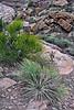 AZ-AOY-Yucca baileyi 2019.5.30#146.4. Navajo Yucca. Box Canyon in the Wupatki Monument Arizona.