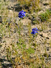 WY-F-Delphinium bicolor 2018.7.4#4797, the little or Low Larkspur. Eastern Wyoming.
