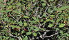 AZ-TS-Frangula californica 2019.9.21#121.2. California Buckthorn. Mingus Mountain Arizona.